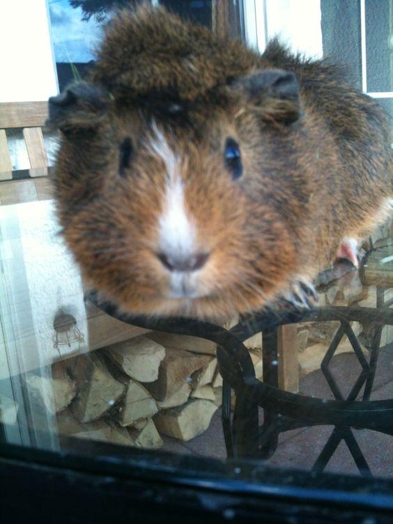 Das ist Mein Meerschweinchen Coco