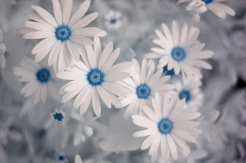 African daisies (Ostospernum)