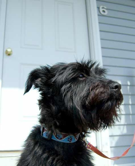 Image Result For Mini Schnauzer Mixed With Scottie Schnauzer Mix