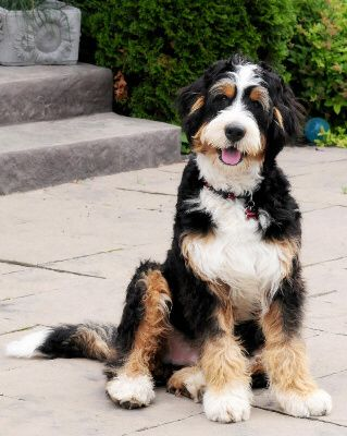 Bernedoodle is a mix of a bernese mountain dog and a poodle