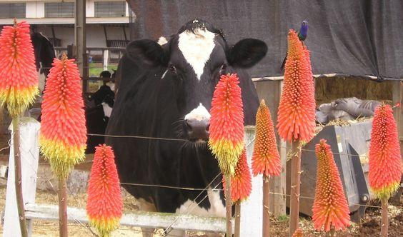 vaca & beija flor