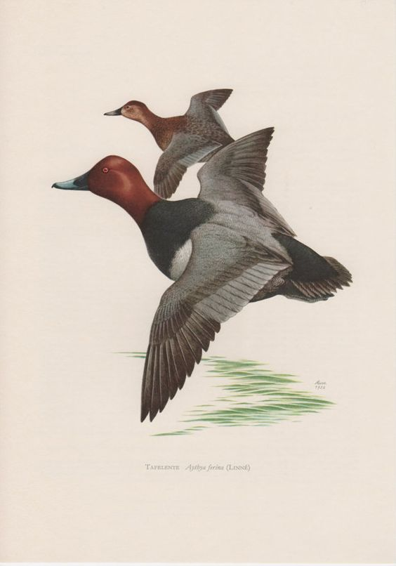 1956 Common Pochard Antique Print Vintage Lithograph Diving Duck Aythya ferina Migratory Waterbirds Anatidae Ornithology Bird Print