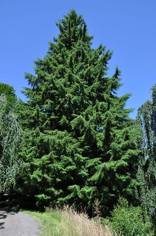 Conifer Species: Tsuga heterophylla | Western Hemlock WA State ...