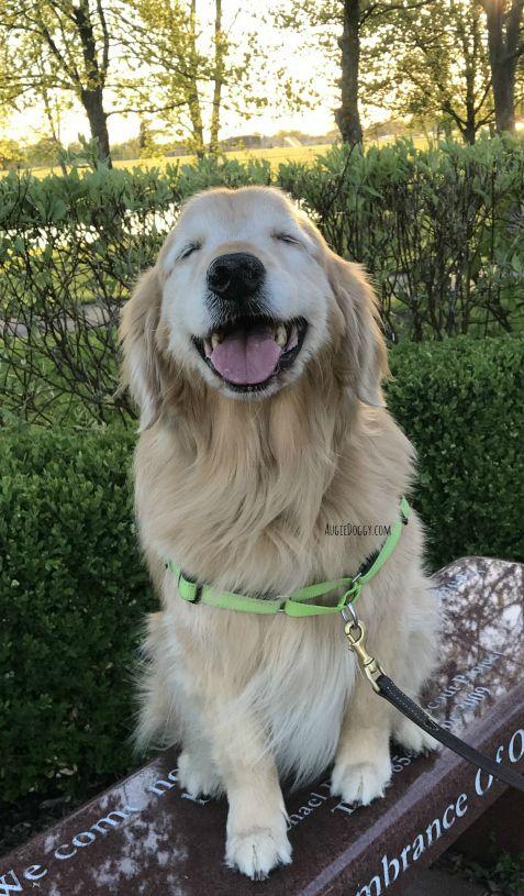 Enjoying A Sunshine Y Day Goldenretriever Dogs Golden