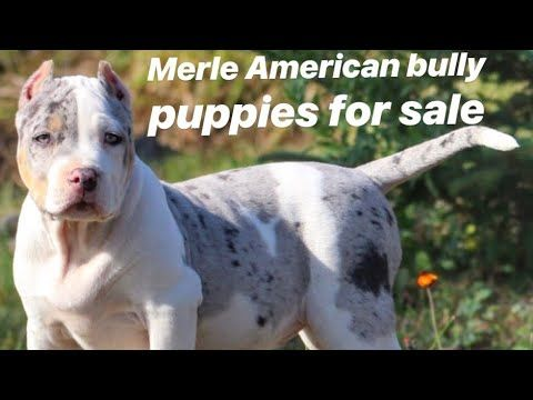 Merle American Bully Puppies For Sale Mega Built Bullies And