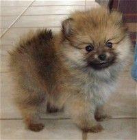 Wolf Sable Pomeranians