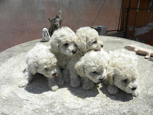 Poodle puppies in white
