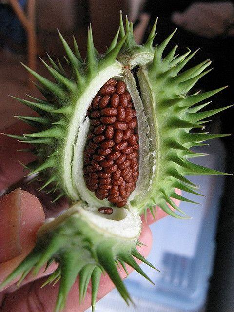 Capsule with seeds from jimsonweed. [Jimsonweed, Datura ... Datura Stramonium Seeds
