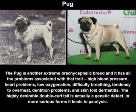 how to tell if pug is purebred