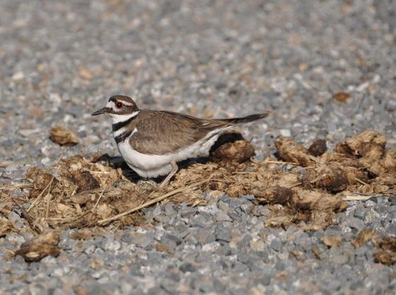 2010-5-16 - Spokesman-Review - Leggy killdeer somehow survive in high-traffic areas