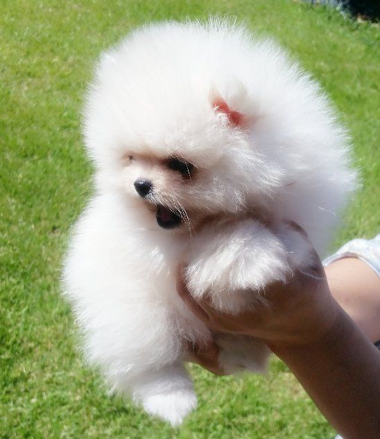 Pin On Available Miniature Pomeranian Puppies For Sale