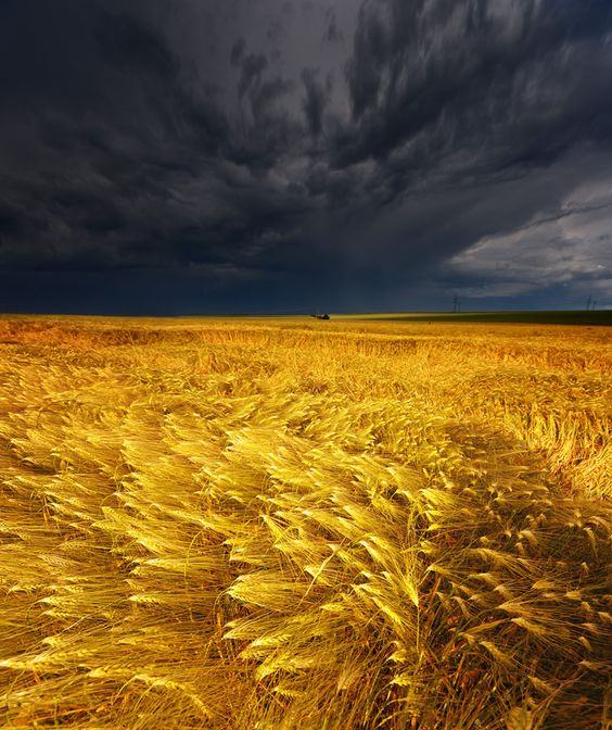 stormy skies and golden fields