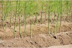 How to Transplant Established Asparagus | eHow