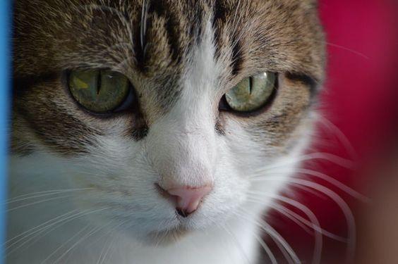 Close up #european #cat @yummypets