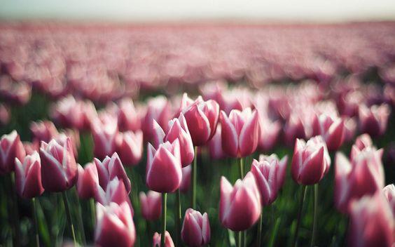 Tulipani, fiori, boccioli di fiori, primavera
