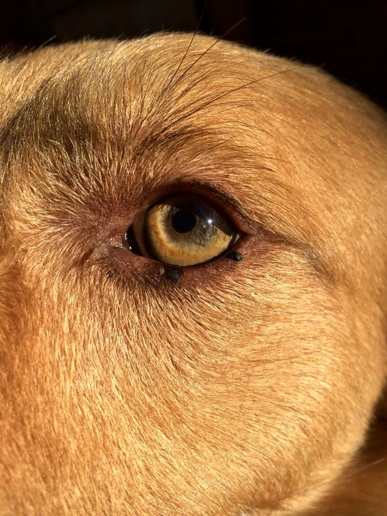 Olho cachorro amarelo