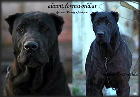 Great Dane German Mastiff Cross Volkadov Dogs