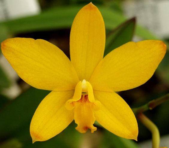 http://www.sunsetvalleyorchids.com/images/orchid_images/Slc_MiniApricot'ScarletPassion'HCC.JPG