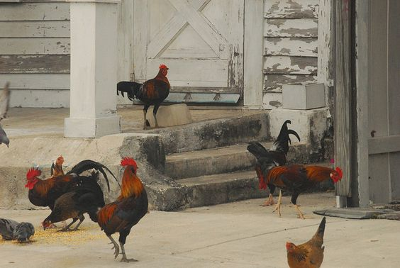 chicken the food chicken the animal and more key west chicken key west ...