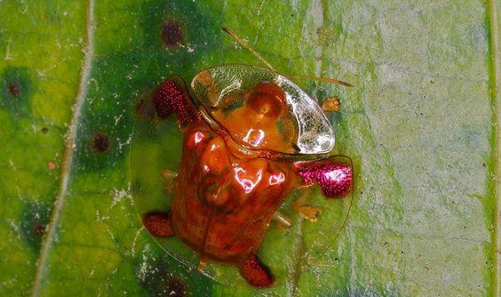 """¡Fascinante """"tortuga de oro""""!  Se trata de un escarabajo Charidotella Sexpunctata que habita en Norteamérica. Coloquialmente le llaman tortuga de oro por la variedad de tonalidades metálicas que presenta en el """"caparazón"""". Tiene la habilidad de cambiar de color de acuerdo a su conveniencia y a la temperatura y humedad en el entorno."""