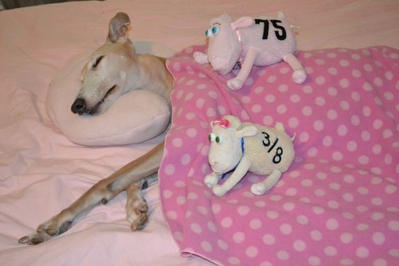 Off In Dreamland  Two of my favorite in one photo...cute sleeping dog and counting sheep!