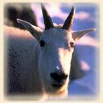 """Put silk on a goat and it is still a goat""~Irish saying. Mountain goat personalities are very much loners. Observing the goings-on from their unique perch, they are consummate voyeurs and when mingling with other terrestrial animal personalities they feel uncomfortable and vulnerable. After brief forays into their world, they must return to their place of security. Balance is a critical component of a mountain goat's life, and they are moderate in every facet of their behavior. With…"
