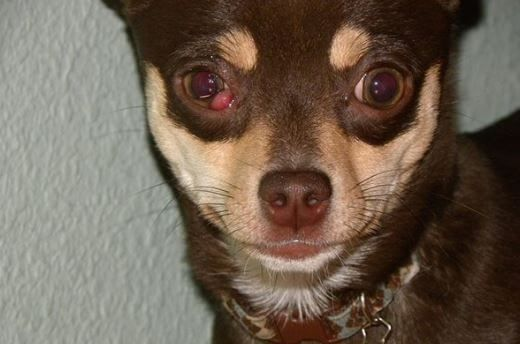 Why Are My Dogs Eyes Red Cherry Eye In Dogs Dog Treatment Dog