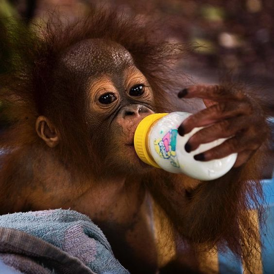 Photo by @mattiasklumofficial for @natgeo  This orphaned orangutan baby drinking milk is one of many victimized orangutans in Borneo and Sumatra. The BOS Nyaru Menteng Orangutan Rescue Center was established in 1999 and today it's home to around 600 orphaned and displaced orangutans. Please go to @mattiasklumofficial to see a playful orangutan wearing diapers. Due to huge logging operations and the palm oil industry orangutans and their forests are in constant jeopardy. The rescued…