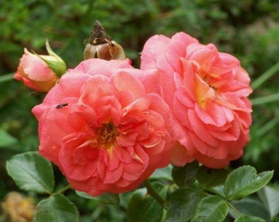 Rosa `Sommersonne`