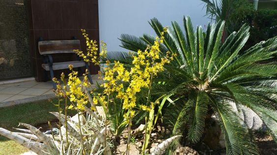 Orquídea do Amazonas. Gosta de sol pleno e nasce nas pedreiras, por isso deve ser cultivada  nas pedras.