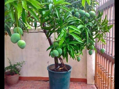 Grafting Two Different Variety Mangoes In A Single Mango Plant Potted Trees Mango Plant Fruit Plants