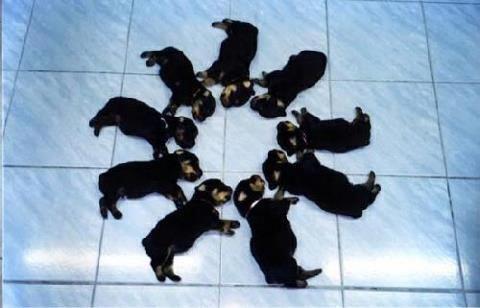 Circle Of Love Rottweilerpups Rottweiler Puppies Sleeping