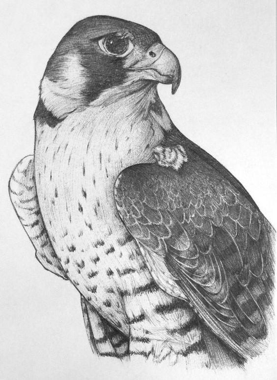 Peregrine falcon by unusualworlds for da boids pinterest