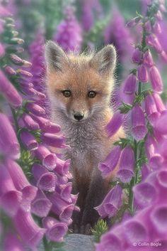"Fox ~ ""Amongst Foxgloves."""