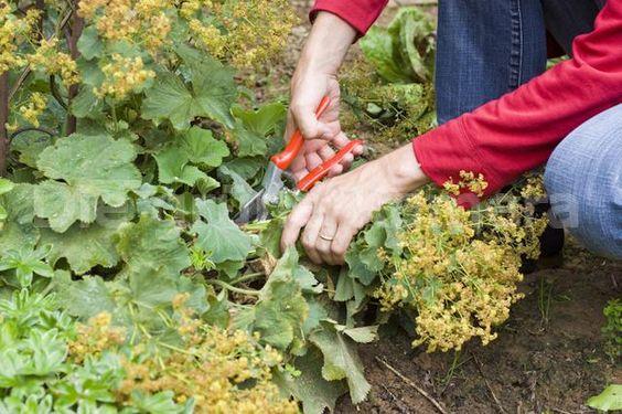 Couper le feuillage de vos vivaces à l'automne: est-ce vraiment nécessaire?…