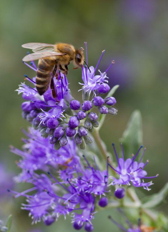 Caryopteris - die Bartblume blüht von Mitte August bis Ende Oktober. Ein reich und lang blühender,  wunderschöner, kugeliger, kleiner Strauch.  Zudem ein richtiger Bienen-Magnet und sehr wertvolle Nahrung! Im Herbst nur sehr wenig zurückschneiden, dann kommt er leichter über den Winter. Etwas Reisig als Winterschutz tut ihm gut.