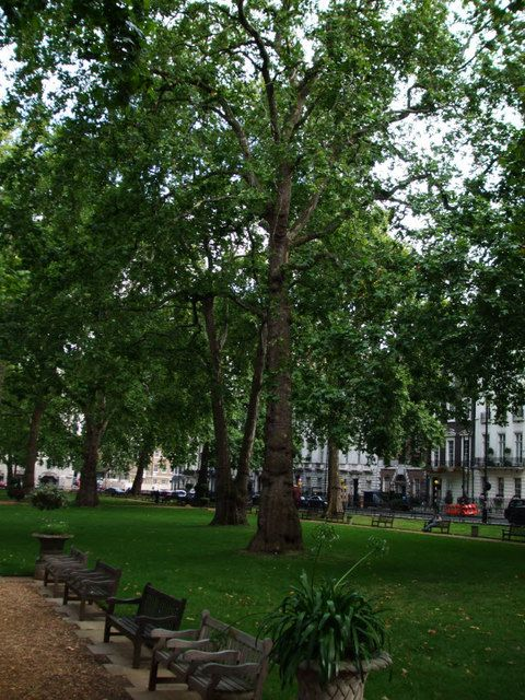 Plane Trees in Berkeley Square, London