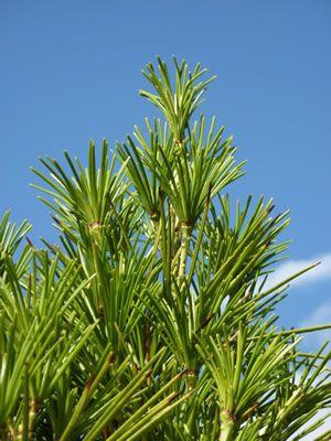 Japanische Schirmtanne Pflege Schneiden Und Braune Gelbe Nadeln Gartendialog De Pflanzen Palmen Garten Palmenarten