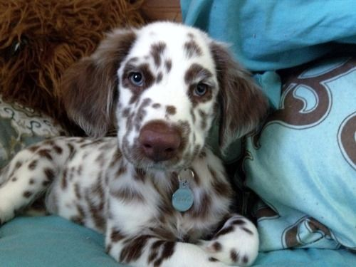 long haired liver and white dalmatian