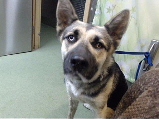 San Bernardino Ca German Shepherd Dog Meet Urgent On 8 21