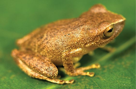 One species a day: A new frog: Pristimantis pulchridormientes