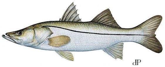 Knob bed head porgy fish recipes