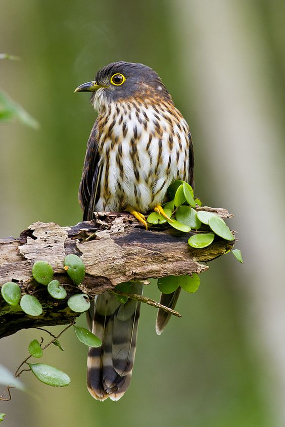 Hudgson's Hawk-Cuckoo, Hierococcyx nisicolor  -  India, Burma, Southern China and Southeast Asia