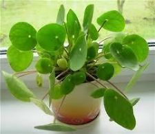 Chinese Money Plant Pilea Peperomides Garden