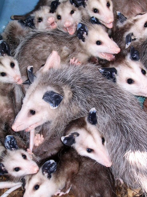A passel of possums!