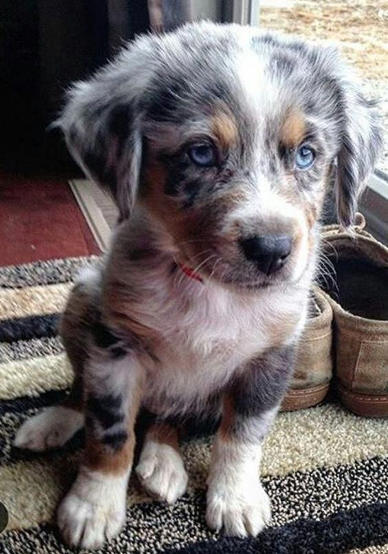 Australian Shepherd Smart Working Dog Australian Shepherd Dogs Dog Breeds Shepherd Dog Breeds