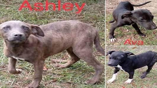 Decatur Ga American Bulldog Meet Prince A Dog For Adoption