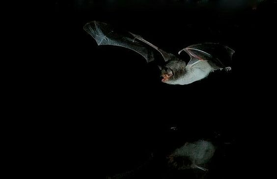 Ratpenat de peus grossos / Myotis capaccinii