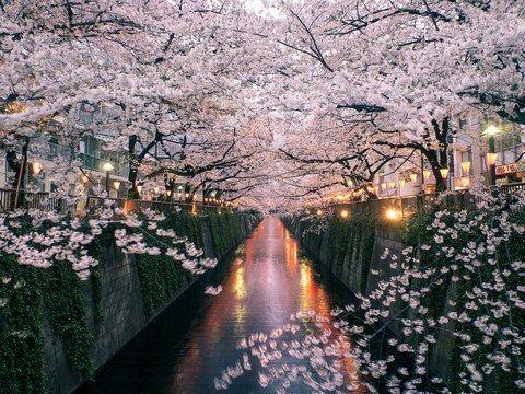 The Best Tokyo Neighborhood For Seeing Japan S Cherry Blossoms Cherry Blossom Japan Japan Cherry Blossom Festival Cherry Blossom Season