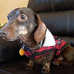 Pin By Triple R On Adoptable Dachshunds Pet Adoption Dachshund